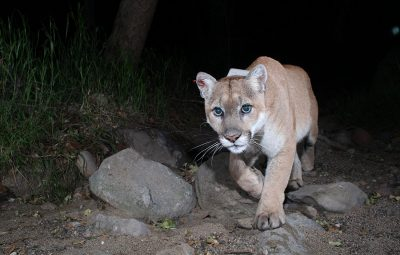 P22 the mountain lion